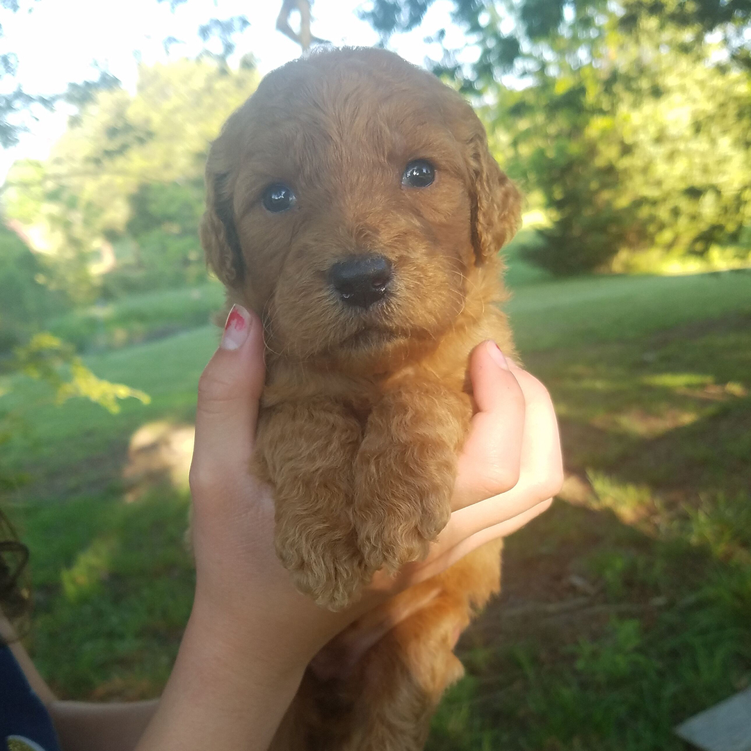 Goldendoodle Breeders | Stanfield, NC